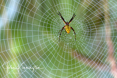 Argiope Spider and Web, Great Swamp National Wildlife Refuge, New Jersery