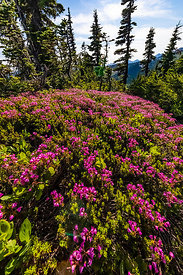 Pink Mountain-heath Blooming in Mount Rainier National Park
