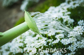 Watering Candytuft Flowers