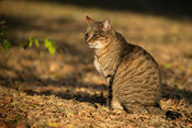 African wildcat, Felis silvestris lybica, Emdoneni, South Africa