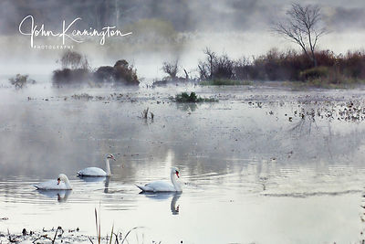 Mute Swans in the Mist, Great Swamp National Wildlife Refuge, New Jersey