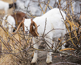 Goat Grazing on Branches