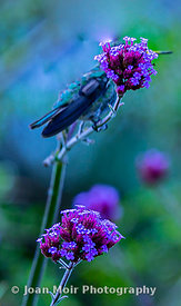 Hummingbird_Journey_IX
