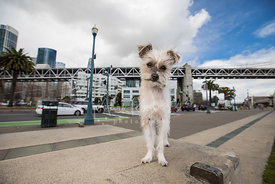 Lanky and Scruffy Terrier Mix on SF Embarcadero