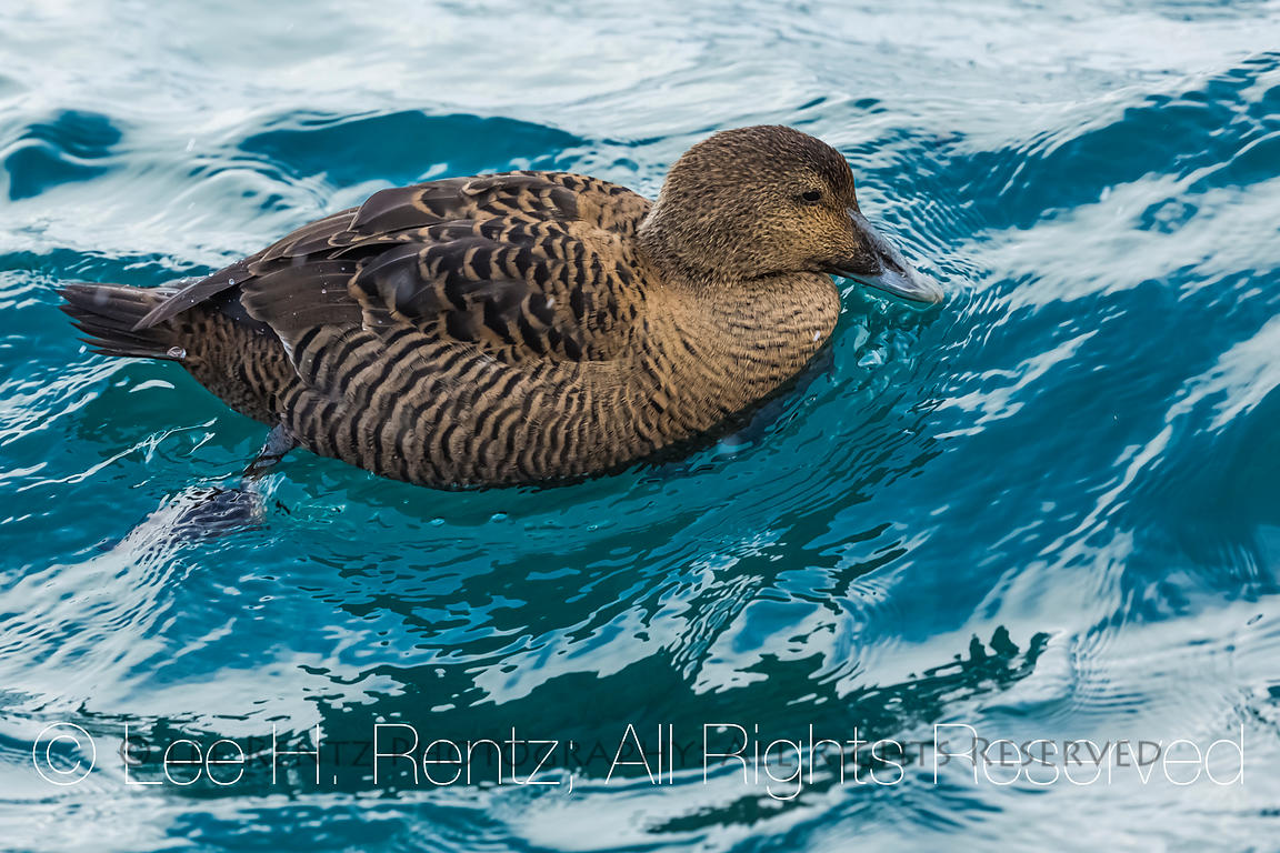 Common Eider in the Westfjords, Iceland