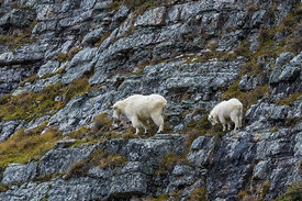 Mountain Goat Nanny and Kid in Yoho National Park