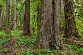 Western Red Cedar and Western Hemlock Trees in Federation Forest State Park