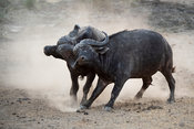 Cape buffalo bulls fighting, Syncerus caffer, Balule Game Reserve, South Africa