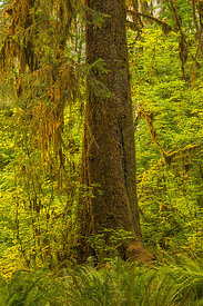 Sitka Spruce Tree in Hoh Rain Forest