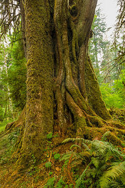 Western Hemlock and Host Tree in Olympic National Park