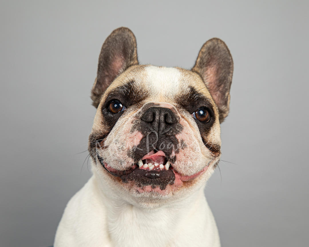 Close-up Smiling French Bulldog on Gray Background