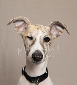 Close-up Studio Portrait of Winking Italian Greyhound Puppy