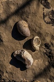 Fossil Oyster Shells at Red Gulch Dinosaur Tracksite