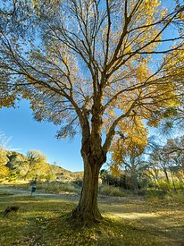 Glorious Cottonwood