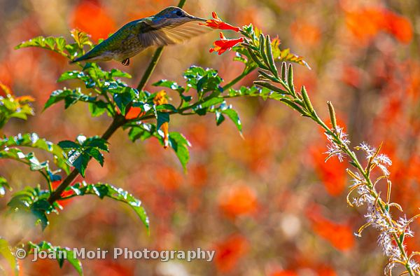 Hummingbird_Fall_Magic_III