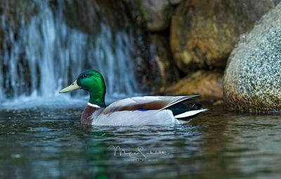 Charlevoix_club_shoot_in_Town_duck_crop_2_clean_sharp_0281