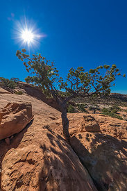 Pinyon Pine at Upheaval Dome in Canyonlands National Park
