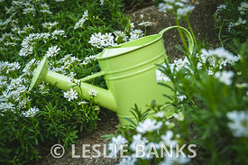 Watering Can in Candytuft