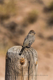 Canyon Towhee, Melozone fusca, in City of Rocks State Park, New Mexico