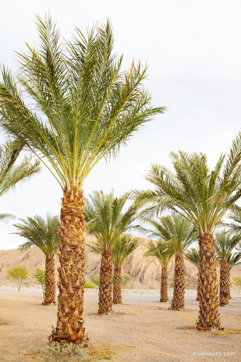 DATE PALMS OASIS DEATH VALLEY CALIFORNIA VERTICAL COLOR