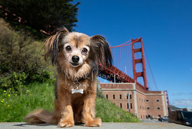 Small brown Papillon Dog with Big Ears at Golden Gate Bridge