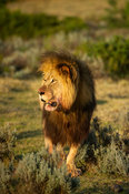 Male lion, Panthera leo, Gondwana Game Reserve, South Africa