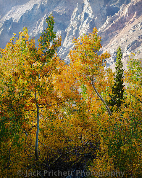 High Sierra Aspens in the fall