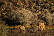African elephants in the Karoo, Loxodonta africana africana, Sanbona Wildlife Reserve, South Africa