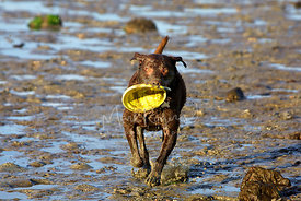 Muddy Labrador Dog Running with Frisbee