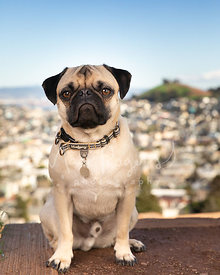 Pug Sitting with City Hills in Background