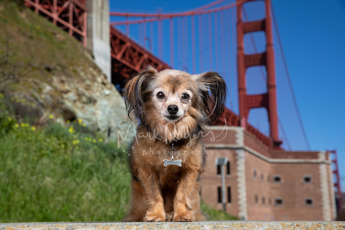Brown Papillon Mix Dog Sitting at Ft Point and Golden Gate Bridge