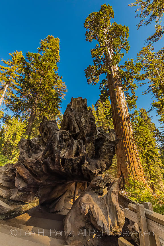 Fallen Monarch in Grant Grove in Kings Canyon National Park