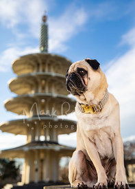 Tan Pug Looking Left in SF Japantown near Pagoda