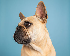 Light tan french bulldog in left profile close-up