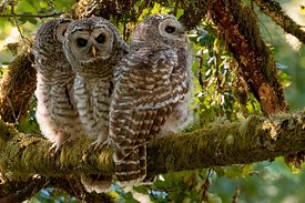 July - Barred Owls (juvenile)