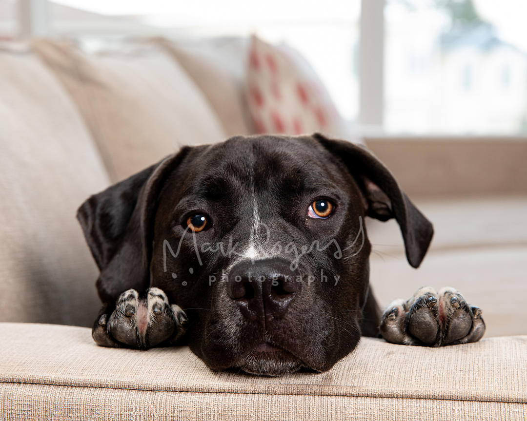 Close up Photo of Black dog with head and paws on sofa arm