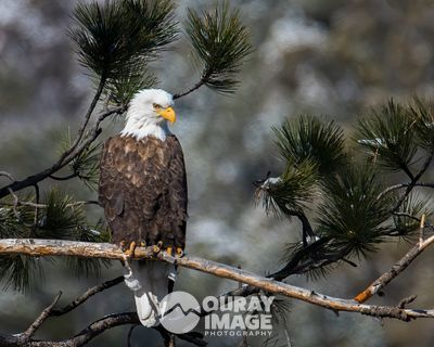 Eagle in Pine Grove