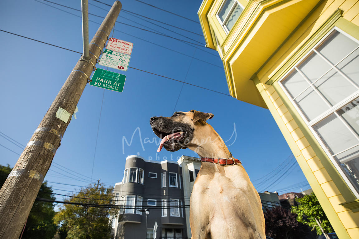 Great Dane Looking Left Next to Yellow House