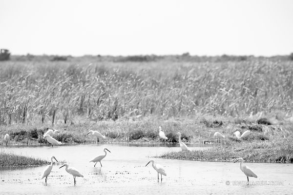 WHITE EGRETS BIG CYPRESS NATIONAL PRESERVE EVERGLADES FLORIDA BLACK AND WHITE