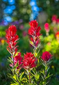 MOUNTAIN MEADOW PAINTBRUSH