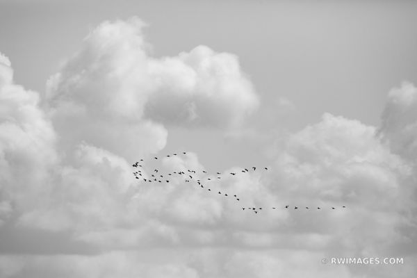 PELICANS THEN THOUSAND ISLANDS EVERGLADES NATIONAL PARK FLORIDA BLACK AND WHITE