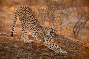 Cheetah, Acinonyx jubatus, Thanda Game Reserve