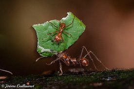 Leaf Cutter Ant, Costa Rica