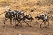 Wild dogs playing, Lycaon pictus, Manyoni Game Reserve, South Africa