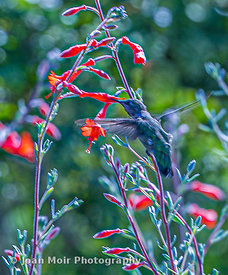 Hummingbird_Journey_XV