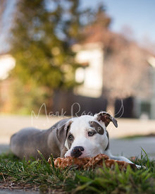 Pitbull Puppy Chewing on Giraffe Toy and Looking Bored