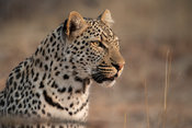 Leopard, Panthera pardus, Klaserie Private Nature Reserve, South Africa