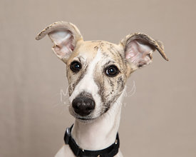 Close-up Studio Portrait of  Italian Greyhound Puppy