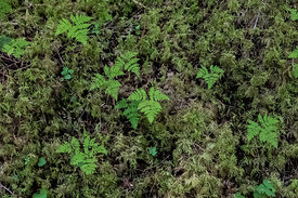 Oak Ferns and Moss in Mount Robson Provincial Park