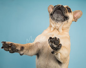 French Bulldog in Air with Paws Out on Light Blue Background
